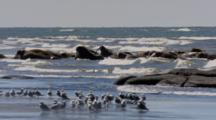 Slow Zoom In To Medium Shot Walrus Rest In Surf Gulls In Foreground Flat Light