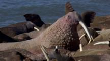 Close Up Tracking Shot Big Bumpy Pink Walrus Flashes Tusks Looks Around Calls Among Walrus Group