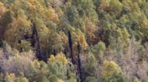 Wind Sways Treetops Mix Of Colorful Deciduous And Coniferous Evergreen Trees In Interior Alaska Boreal Forest Tiaga. Alaska Cineflex Aerial Zatzworks
