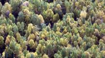 Boreal Forest Taiga Interior Alaska, Mix Of Colorful Deciduous And Coniferous Evergreen Treetops Dance Sway In The Wind. Alaska Cineflex Aerial Zatzworks