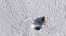 Cineflex Aerial Of Bearded Seal On Frozon Bering Sea Western Alaska