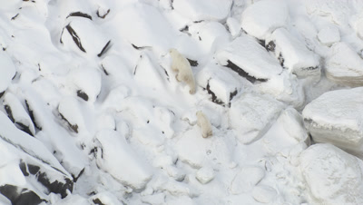Cineflex Aerials of Polar Bear Mother and Cub Walking outside Churchill Manitoba in Winter