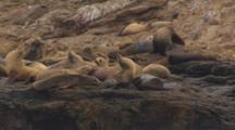 Cineflex shots of california sea lions relaxing on farallon islands