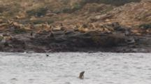 Gyrostabilized Cineflex shots of california sea lions bobbing on farallon islands