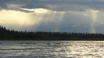 Grebes Feeding Chicks On Lake