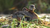 Grebes Chicks Baby On Parent's Back