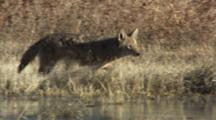 Coyote Walks Along Lake With Birds