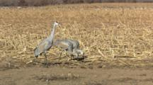 Sandhill Cranes Feeding In Corn Field