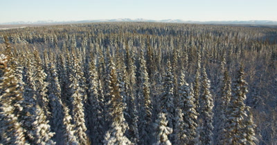 Low POV Aerial Over Evergreen Forest in snow