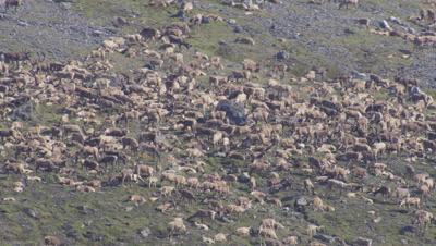 Aerial Alaska,densely packed Caribou herd