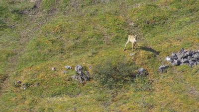 Aerial Alaska,Caribou calf on tundra