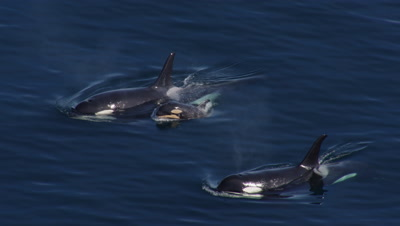 Aerial Coastal Alaska Above Killer Whales,Orcas,one with small calf