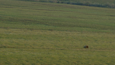 Aerial Alaska,Lone Grizzly Walks on Alpine Meadow