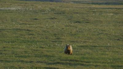 Aerial Alaska,Lone Grizzly Walks on Alpine Meadow,Very Wide