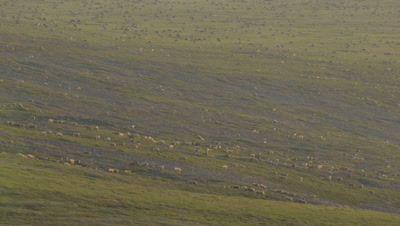 Alaska Aerial Above Tundra to Reveal Herd of Migrating Caribou