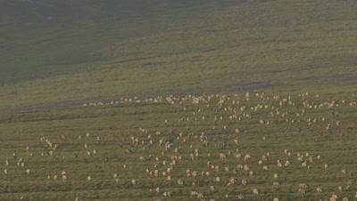 Alaska Aerial Herd of Migrating Caribou on Tundra