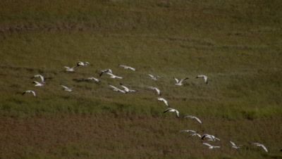 Aerial alaska Above Flock of Birds,Possibly Swans,Flying over tundra