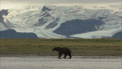 Stunning Background As Brown Bear Walks Left To Right Glacier Possible Loop
