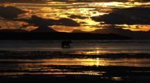 Brown Grizzly Bear Walk Stunning Sunset Sunrise In Alaska Wilderness In Hd