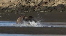 Brown Bears Fishing And Stealing Fish And Salmon Alaska