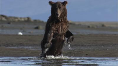 Brown Bear Grizzly Bear Female Standing On Two Legs Hd In Alaska Wild