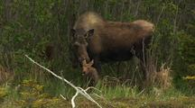 Moose With Very Young Calf.  Moose Baby And Mom.