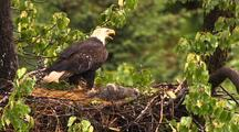 Bald Eagle Lands At Nest With Chicks In Hd In Alaska