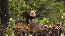 Bald Eagle Feeding Chicks Sockeye Red Salmon In Alaska In Hd