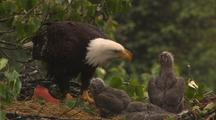 Bald eagle feeds chicks sockeye salmon red salmon in alaska nest HD