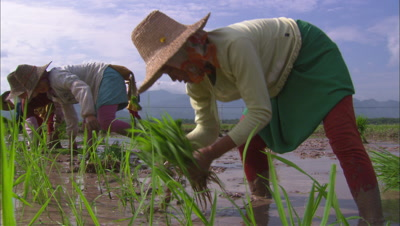 Rice Farming In China Agriculture Fields