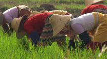 Tilt Up And Reveal Farm Workers Planting Rice In China