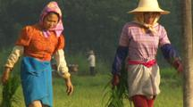 Tilt Up From Rice Field To Women Farm Workers Carrying Rice In China