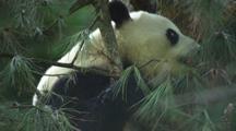 China Chinese Panda Bear In Tree