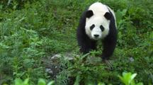 China Chinese Panda Bear Walks Towards Camera Then Screen Right