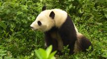 China Chinese Panda Bear In Green Plants