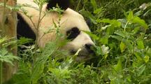 China Chinese Tilt Up From Plants To  Panda Bear Resting In Forest At Wolong