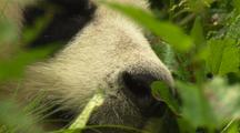 China Chinese Close Up Panda Bear Nose Sleeping Resting In Forest At Wolong