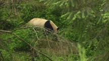 China Chinese Panda Bear Walking In Forest At Wolong