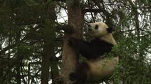 China Chinese Panda Bear Climbing In Forest At Wolong