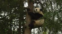 China Chinese Zoom In To Panda Bear In Tree In Forest At Wolong