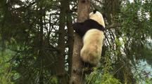 China Chinese Tilt From Tree To Reveal Panda Bear Climbing Down Tree In Forest At Wolong