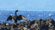 Cormorant, Shag, Stretches Wings Bird Alaska Marine Wildlife