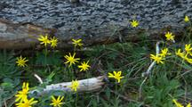 Yellow Flowers And Downed Log In Interior Alaska Forest