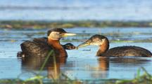 Red Necked Grebe Adult Feeding Fuzzy Cute Chicks Alaska Wetlands Scenic Alaska
