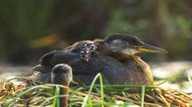 Red Necked Grebe Adult Feeding Cute And Fuzzy Chick Alaska Wetland Podiceps Grisegena