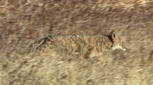 Coyote Walking Running Through Brush With Sandhill Cranes In Background Southwest Usa
