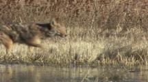 Coyote Walking Running Through Brush