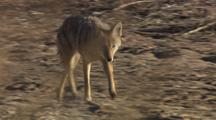 Coyote Walking Running Trotting Southwest Wildlife