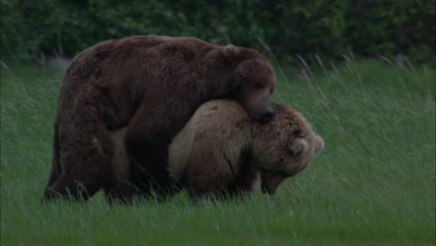 Brown Bears Mating Grizzly Bears Alaska Wildlife