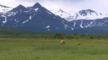 Wide Shot Of Grizzly Bear Brown Bear And Cub Feeding On Grass Sedges With Snow-Covered Capped Mountains Wildlife Nature Alaska